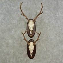 Red Deer Skull European Mount For Sale #16964 @ The Taxidermy Store