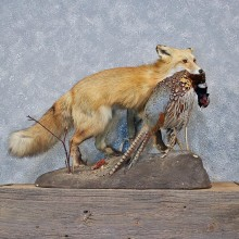 Red Fox Standing Mount w/ Pheasant #11969 For Sale @ The Taxidermy Store