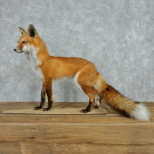 Standing Red Fox Life-Size Mount #13616 For Sale @ The Taxidermy Store