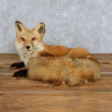 Red Fox Life-Size Mount For Sale #14407 @ The Taxidermy Store