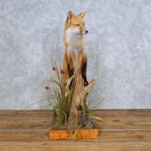 Standing Red Fox Taxidermy Mount For Sale