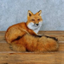 Red Fox Life-Size Mount For Sale #15570 @ The Taxidermy Store