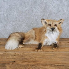 Laying Amber Fox Life-Size Taxidermy Mount For Sale