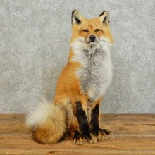 Red Fox Life-Size Taxidermy Mount For Sale