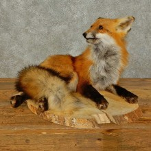 Red Fox Life-Size Mount For Sale #16405 @ The Taxidermy Store