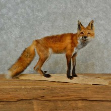 Red Fox Life-Size Mount For Sale #16548 @ The Taxidermy Store