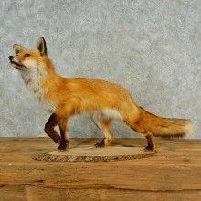 Red Fox Life-Size Mount For Sale #16569 @ The Taxidermy Store