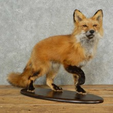 Red Fox Life-Size Mount For Sale #16692 @ The Taxidermy Store