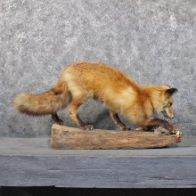 Red Fox Standing Mount #11813 For Sale @ The Taxidermy Store