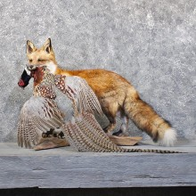 Red Fox Standing Mount w/ Pheasant #11814 For Sale @ The Taxidermy Store
