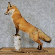 Red Fox Life-Size Taxidermy Mount #13116 For Sale @ The Taxidermy Store