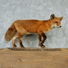 Standing Red Fox Mount