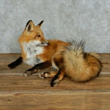Laying Red Fox Life-Size Mount