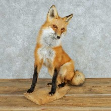 Sitting Red Fox Life-Size Mount