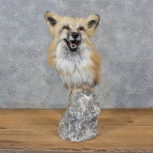 Red Fox Pedestal Mount #10767 For Sale @ The Taxidermy Store