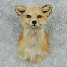 Red Fox Shoulder Mount