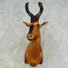 Red Hartebeest Shoulder Taxidermy Mount For Sale