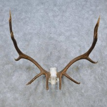 Red Stag Skull Cap & Antler Mount For Sale #14551 @ The Taxidermy Store