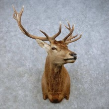 Red Deer Stag Shoulder Mount For Sale #15024 @ The Taxidermy Store
