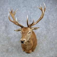 Red Deer Stag Shoulder Mount For Sale #15032 @ The Taxidermy Store
