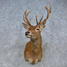 Red Deer Stag Shoulder Mount For Sale #15064 @ The Taxidermy Store
