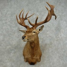 South Pacific Red Stag Taxidermy Shoulder Mount For Sale