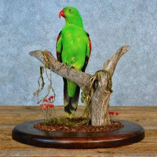 Red Wing Parrot Taxidermy Bird Mount For Sale