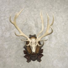Red Deer Skull Antler European Mount For Sale #20488 @ The Taxidermy Store