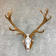 Red Deer Skull Antler European Mount For Sale #22007 @ The Taxidermy Store