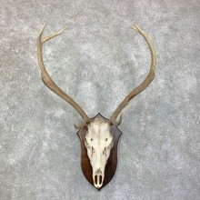 Red Deer Skull Antler European Mount For Sale #22862 @ The Taxidermy Store