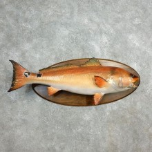 Red Drum Fish Taxidermy Fish Mount For Sale - 17806 - The Taxidermy Store