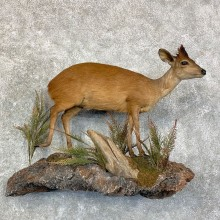 Red Duiker Life-Size Mount For Sale #22854 @ The Taxidermy Store