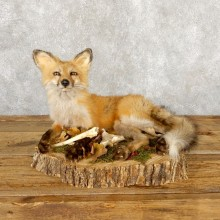 Red Fox Life-Size Mount For Sale #18883 @ The Taxidermy Store