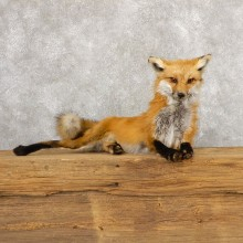 Red Fox Life-Size Mount For Sale #18886 @ The Taxidermy Store