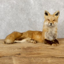 Red Fox Life-Size Mount For Sale #19280 @ The Taxidermy Store