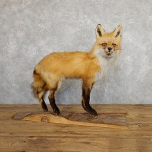 Red Fox Life-Size Mount For Sale #19668 @ The Taxidermy Store