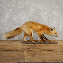 Red Fox Life-Size Mount For Sale #20314 @ The Taxidermy Store