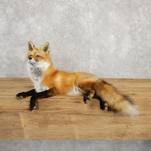 Red Fox Life-Size Mount For Sale #20315 @ The Taxidermy Store