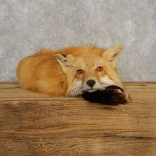 Red Fox Life-Size Mount For Sale #20394 @ The Taxidermy Store