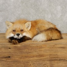 Red Fox Life-Size Mount For Sale #20396 @ The Taxidermy Store