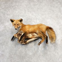 Red Fox Life-Size Mount For Sale #21111 @ The Taxidermy Store