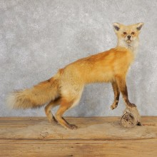 Red Fox Life-Size Mount For Sale #21113 @ The Taxidermy Store