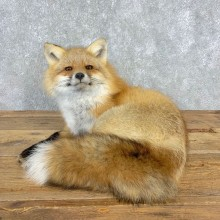 Red Fox Life-Size Mount For Sale #21663 @ The Taxidermy Store