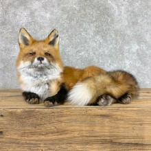 Red Fox Life-Size Mount For Sale #22422 @ The Taxidermy Store