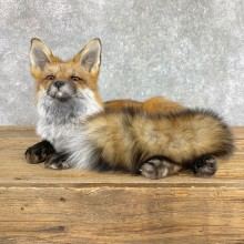 Red Fox Life-Size Mount For Sale #22423 @ The Taxidermy Store