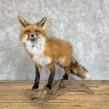 Red Fox Life-Size Mount For Sale #22455 @ The Taxidermy Store