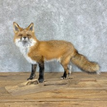 Red Fox Life-Size Mount For Sale #22456 @ The Taxidermy Store