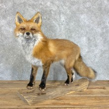 Red Fox Life-Size Mount For Sale #22457 @ The Taxidermy Store