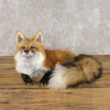 Red Fox Life-Size Mount For Sale #22593 @ The Taxidermy Store