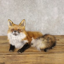 Red Fox Life-Size Mount For Sale #22594 @ The Taxidermy Store